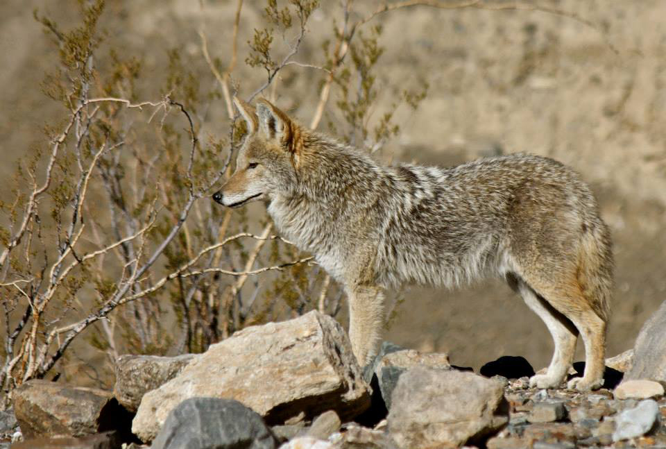 Panamint-Coyote